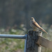 Kestrel on my walk round Carlton Marshes
