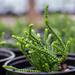 Succulent...