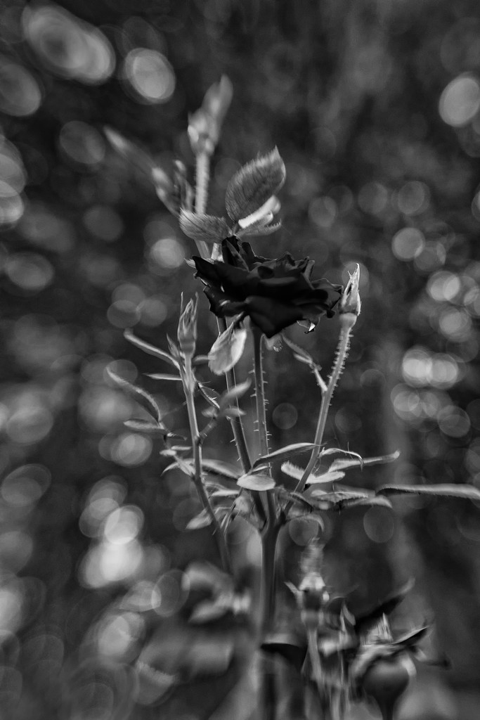 Abby's Rose by kvphoto