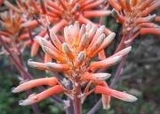 20th Sep 2020 - Aloe Flower