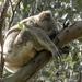 just sleeping by koalagardens