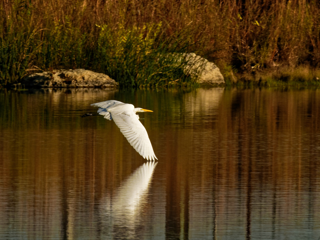 Great egret flying just above the water by rminer