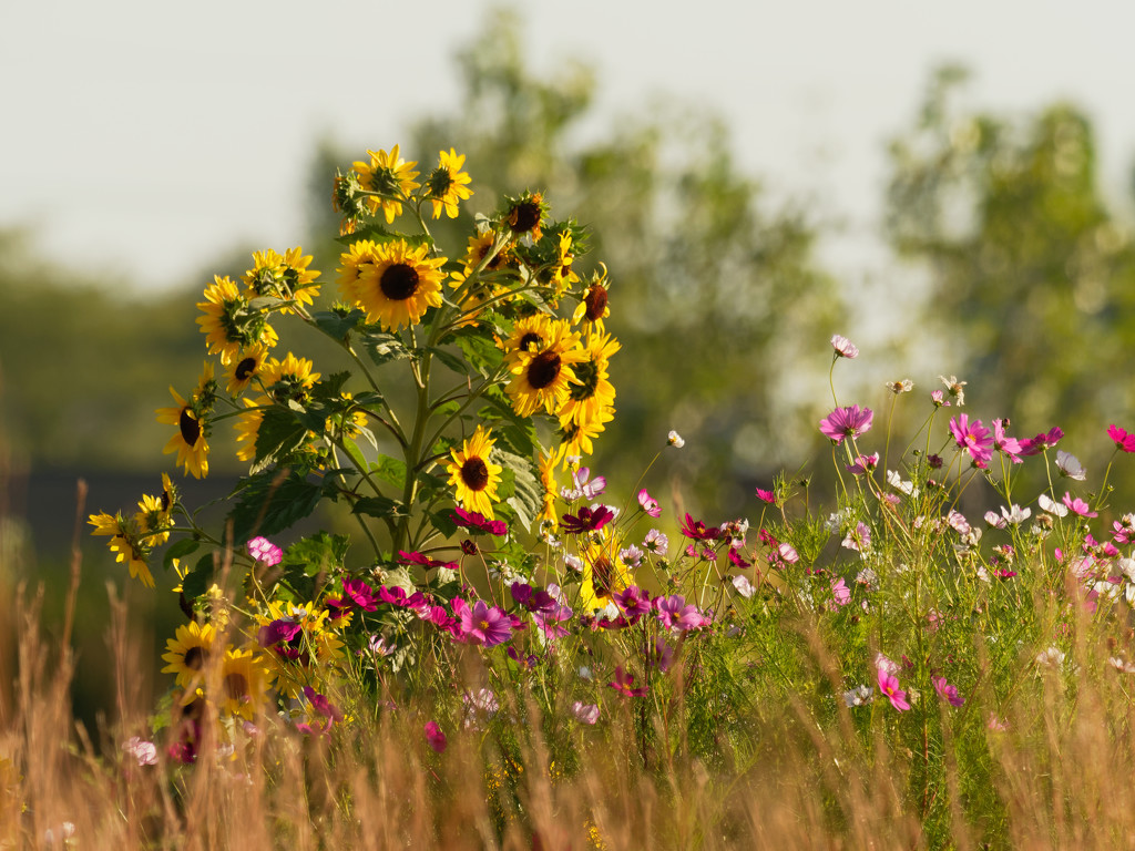 sunflowers_DxO by rminer
