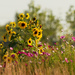 sunflowers_DxO