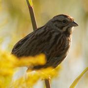 20th Sep 2020 - song sparrow