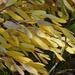 Willow leaves