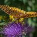Friendly Fritillary
