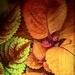 Cool coleus  by samae