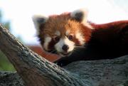 18th Sep 2020 -  Happy International Red Panda Day