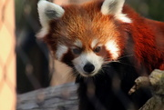19th Sep 2020 - Leo The Red Panda