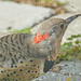 Northern Flicker from Behind