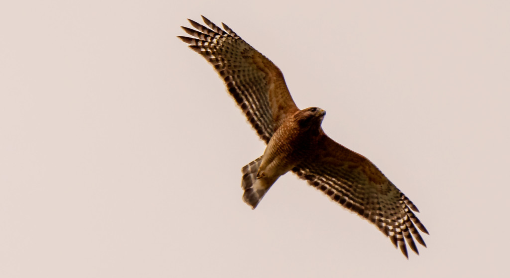 Red Shouldered Hawk Doing a Fly-over! by rickster549