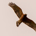 Red Shouldered Hawk Doing a Fly-over!