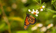 20th Sep 2020 - Monarch Butterfly!