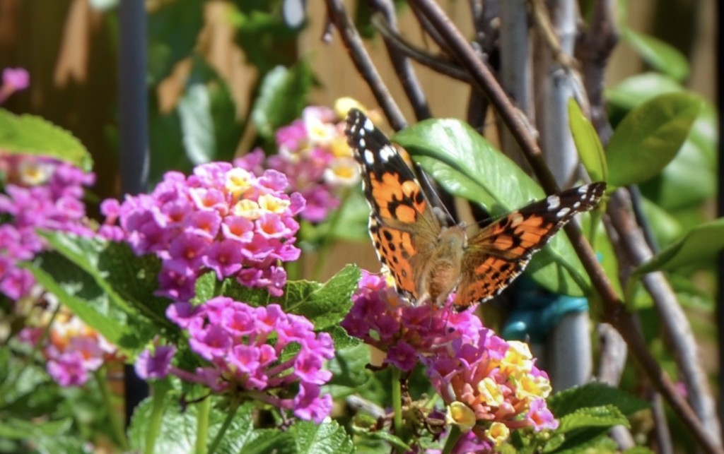 A Painted Lady visited our Bubble Gum  Lantana yesterday  by louannwarren