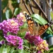 A Painted Lady visited our Bubble Gum  Lantana yesterday