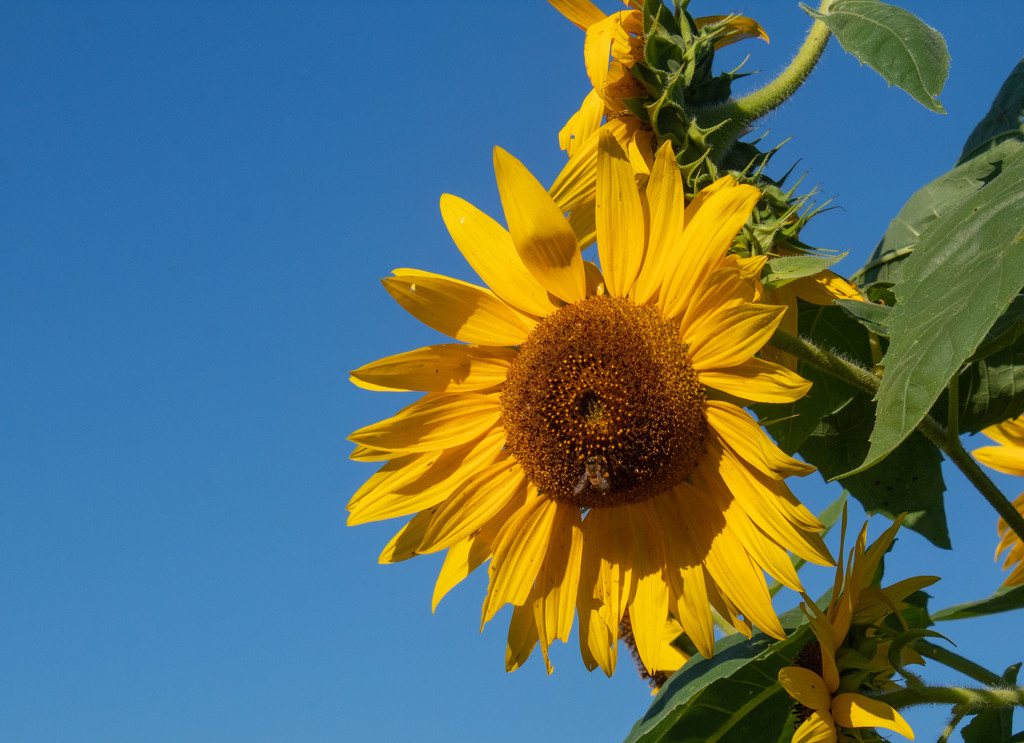 Sunflower by tdaug80