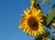 19th Sep 2020 - Sunflower