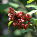 Chinese Photinia Berries