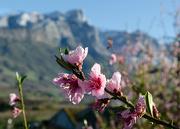 21st Sep 2020 - Peach blossoms