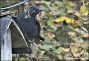 21st Sep 2020 - Funny looking blackbird