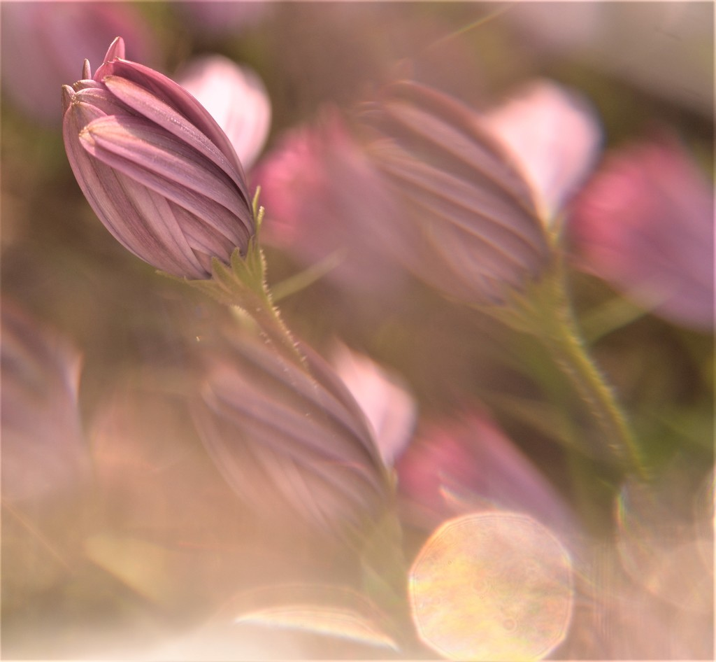 Daisies........ by ziggy77