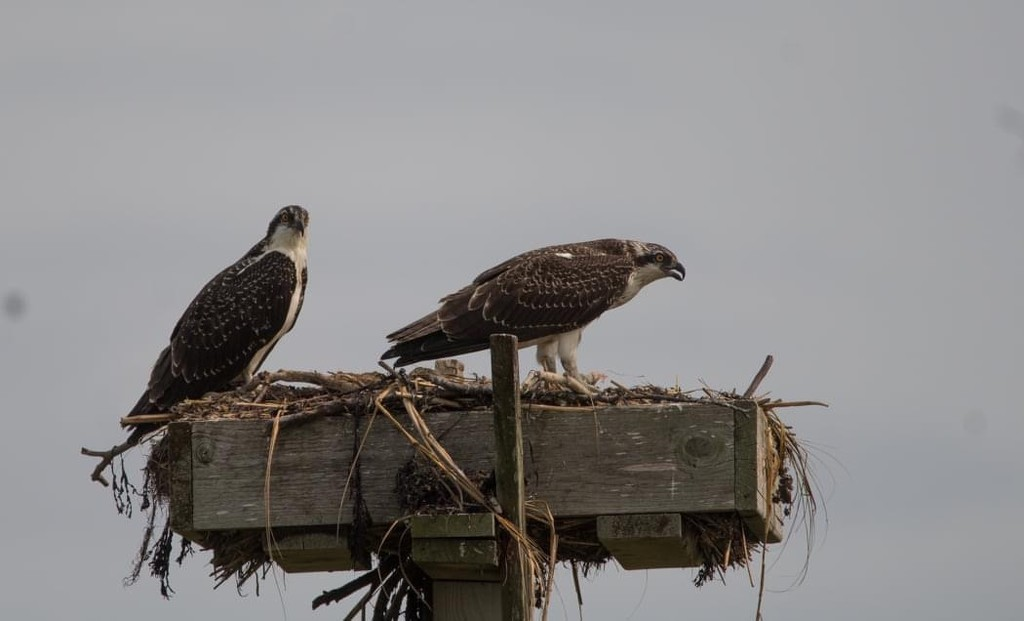 Osprey Pair by not_left_handed