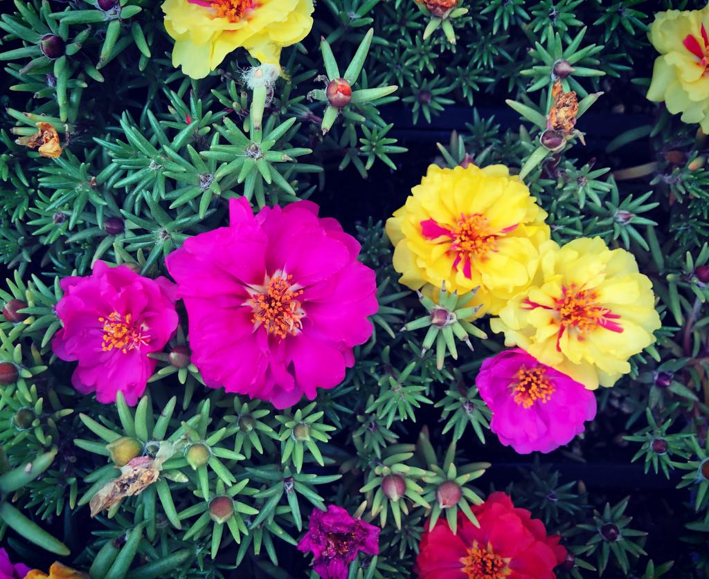 Moss Rose by loweygrace