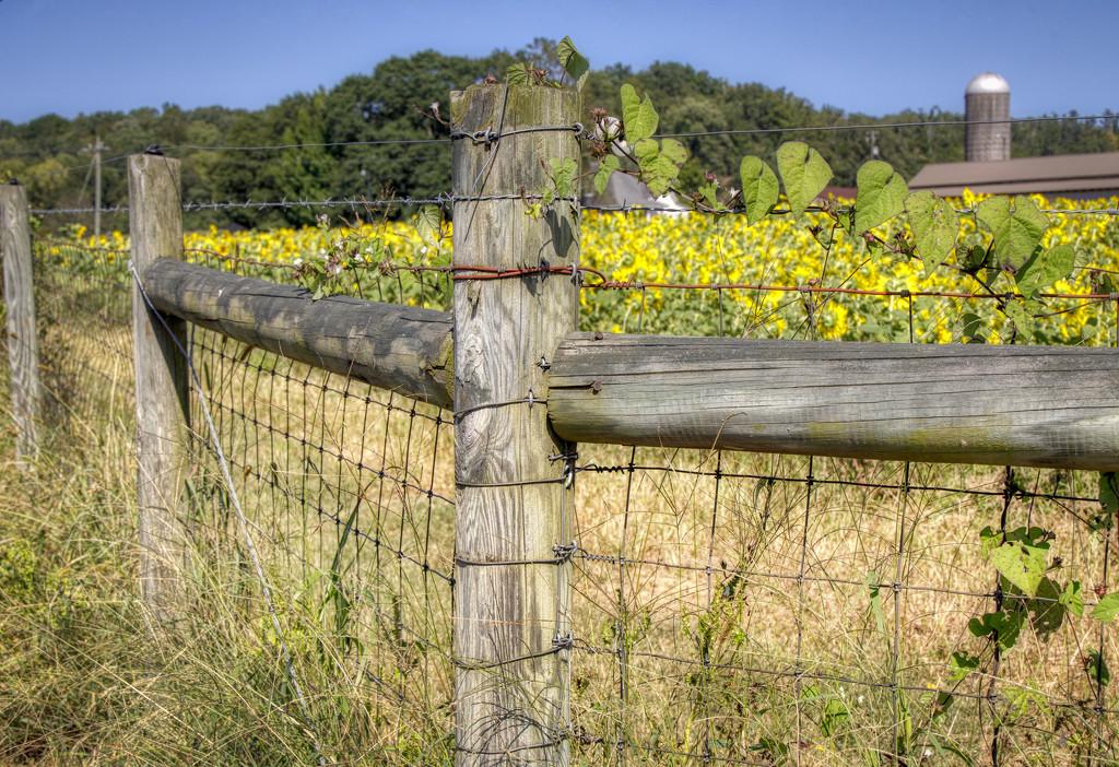 Herd of Sunflowers by kvphoto