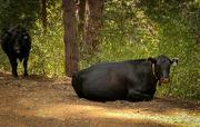 21st Sep 2020 - Cows encountered MTN. Biking in the Sierras