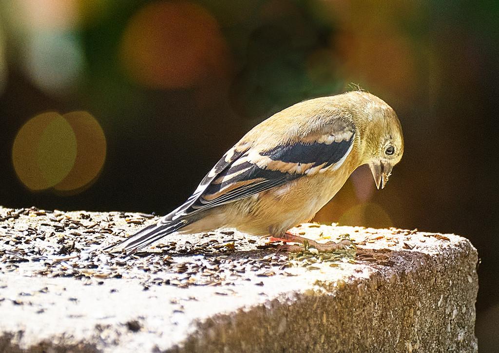 Gold Finch on Wall by gardencat