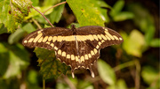 21st Sep 2020 - Giant Swallowtail Butterfly!