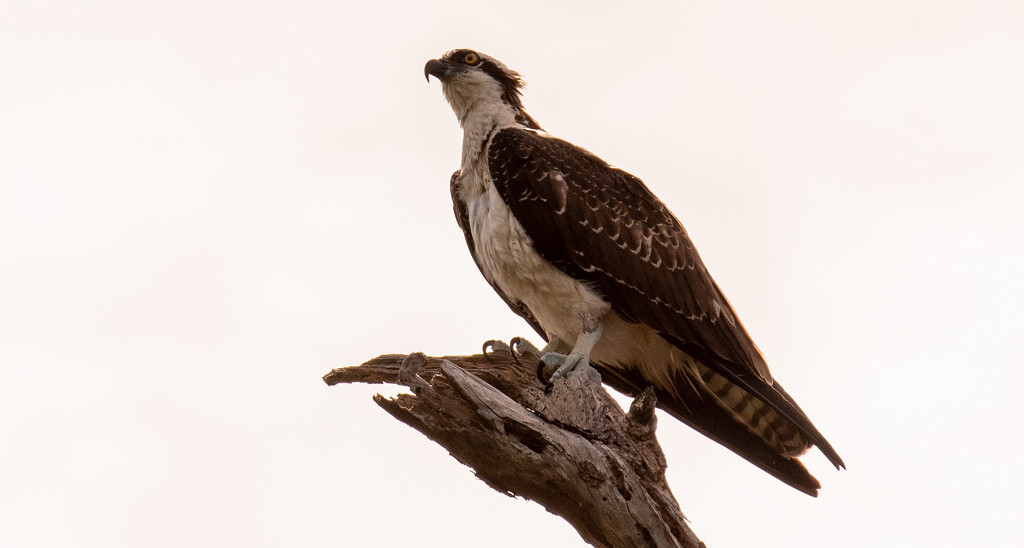 Osprey in the Tree Top! by rickster549