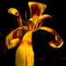 Elegance in a fading tulip