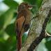 Mexico 2019 - Tawny-winged Woodcreeper