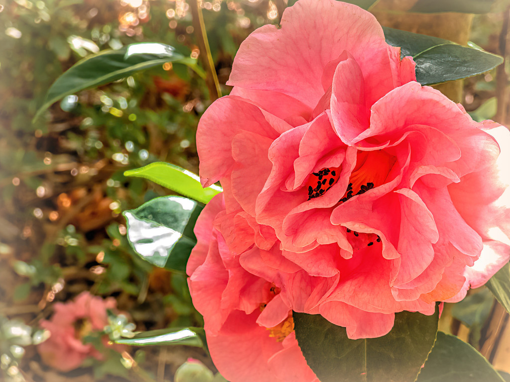 Another beautiful Camelia  by ludwigsdiana