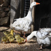 Family of Sebastopol Geese