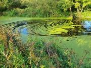 18th Sep 2020 - Pond weeds swirls