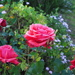 spring roses starting