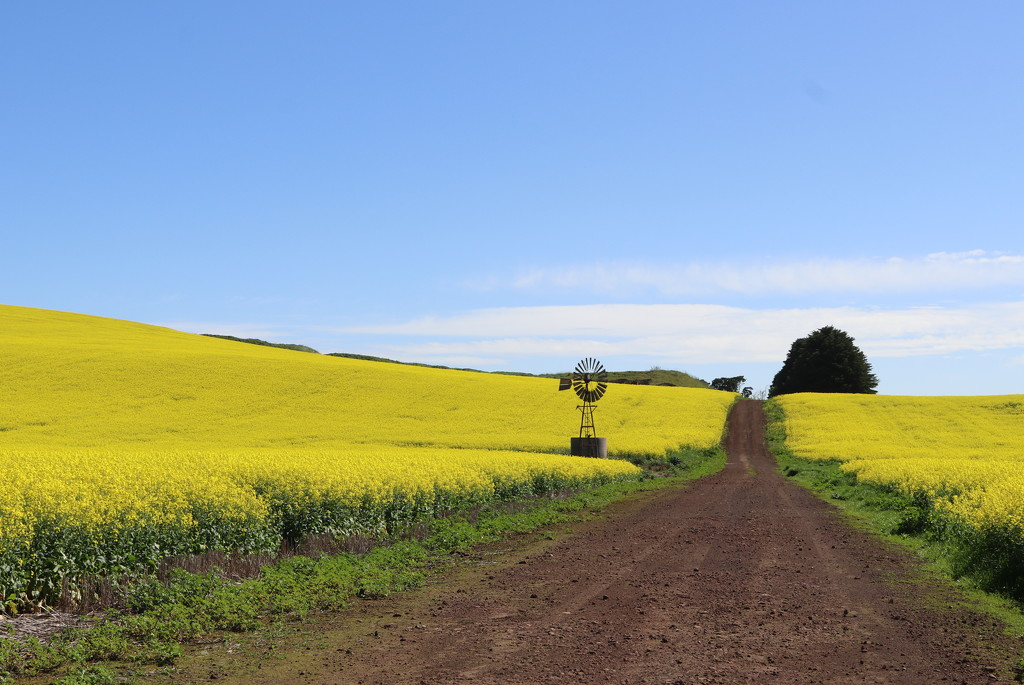 The road through canola by gilbertwood