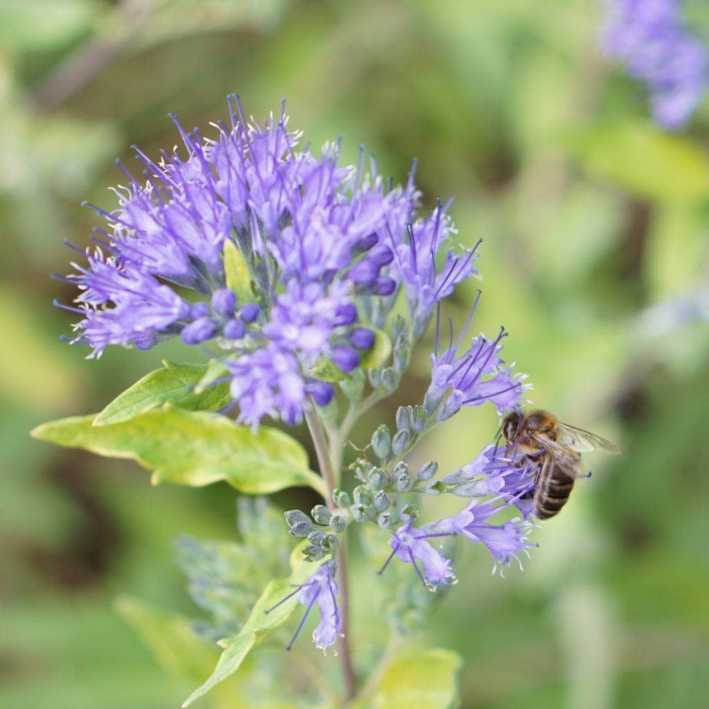 return to the garden: caryopteris and bee by quietpurplehaze