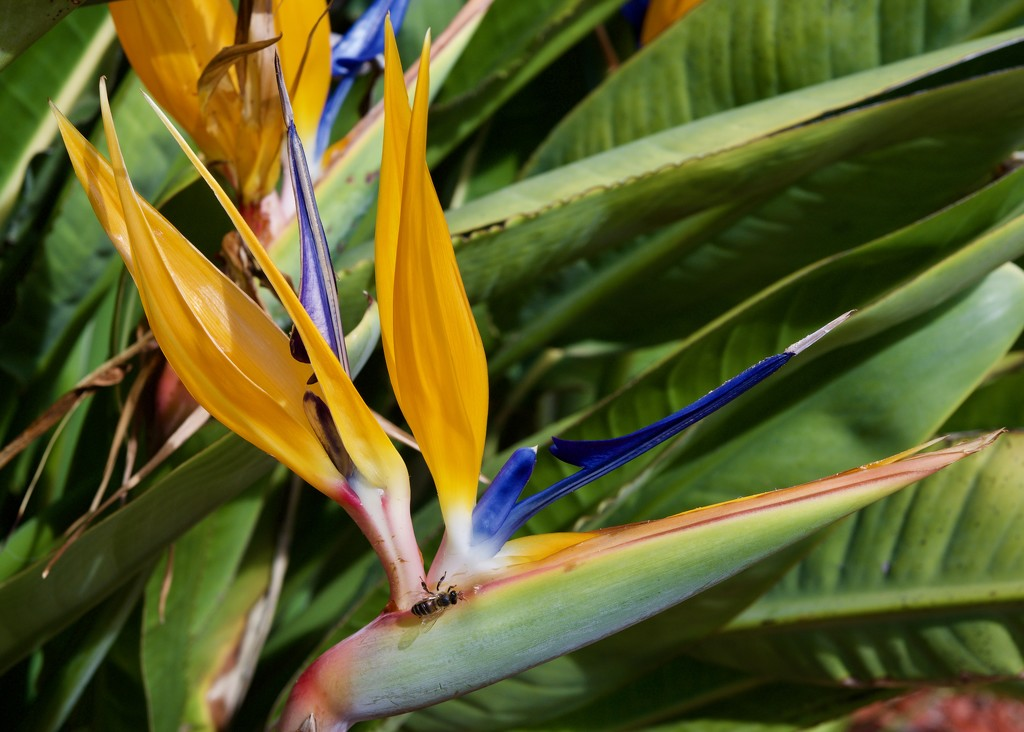 A Strelitzia And A Photo Bomber ...P9170012 by merrelyn