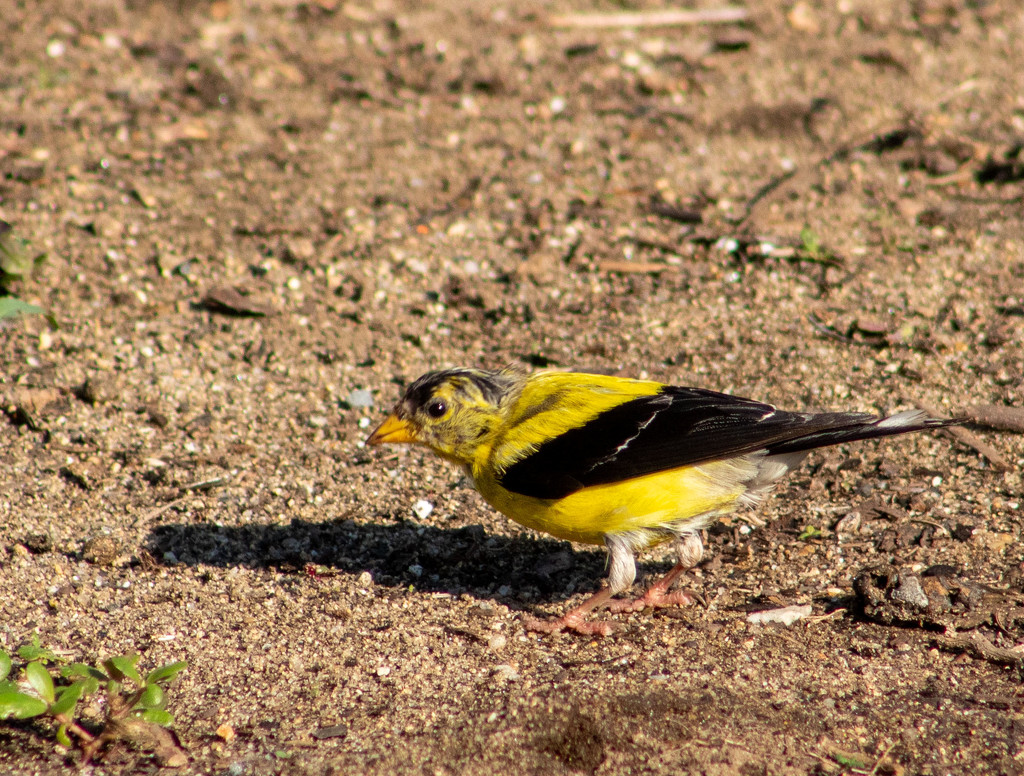 Another Goldfinch by tdaug80