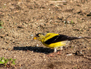 20th Sep 2020 - Another Goldfinch