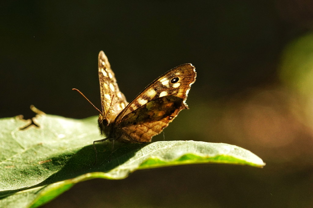 speckled wood by romainz