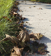 17th Sep 2020 - Dead leaves