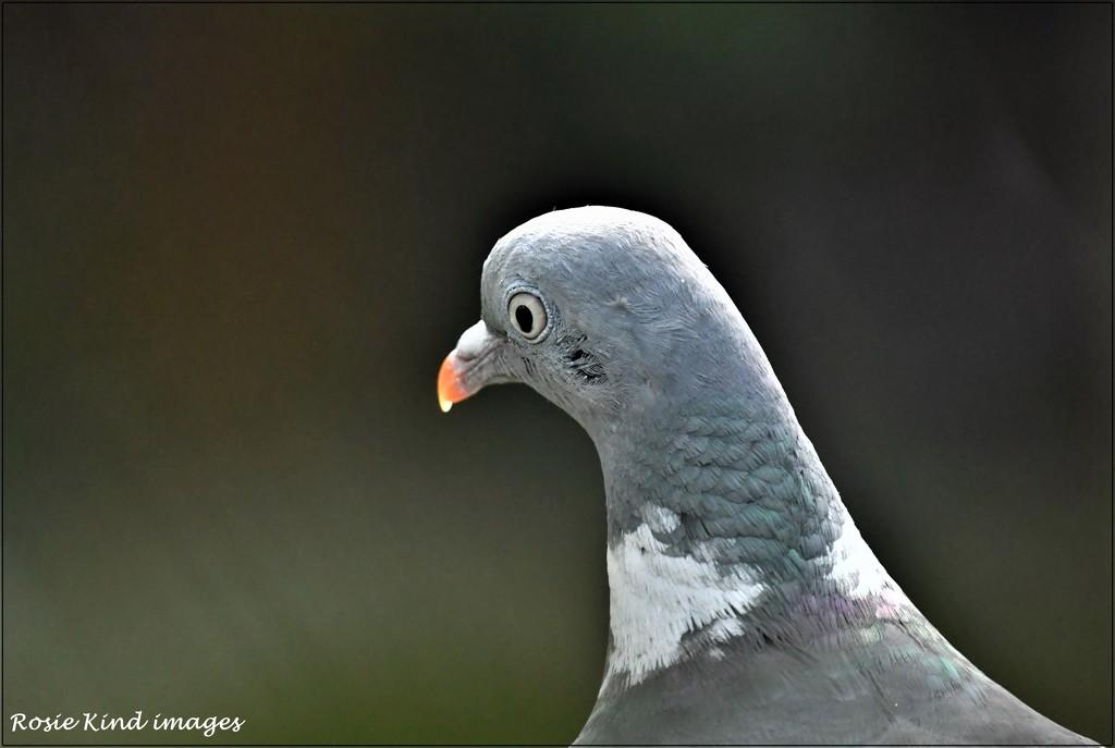 Pigeon portrait by rosiekind