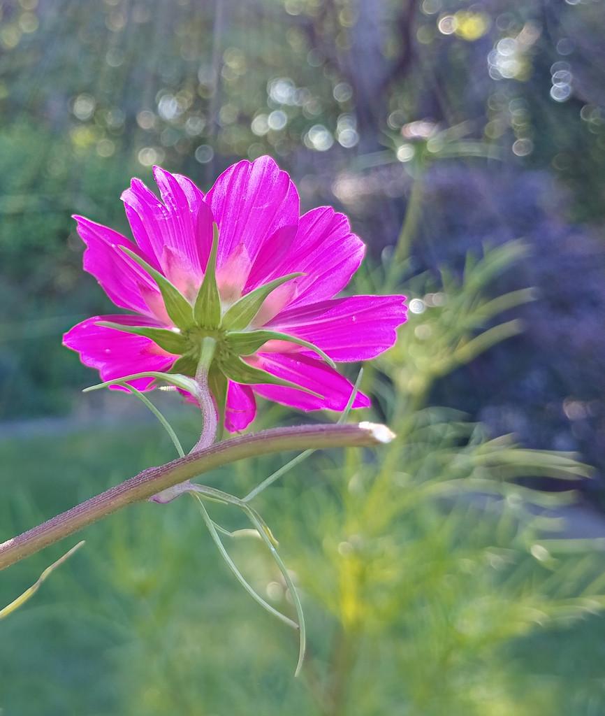 pink flower in sun by houser934