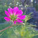 pink flower in sun