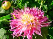 12th Sep 2020 - Cactus Dahlia